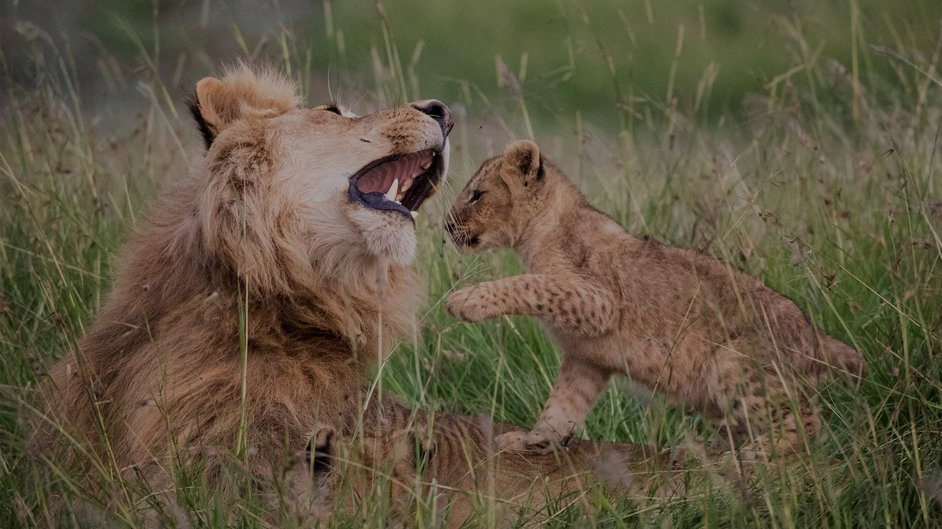 A lion cub clambers over an adult male lion lying in long grass, who raises his head in a mock roar.